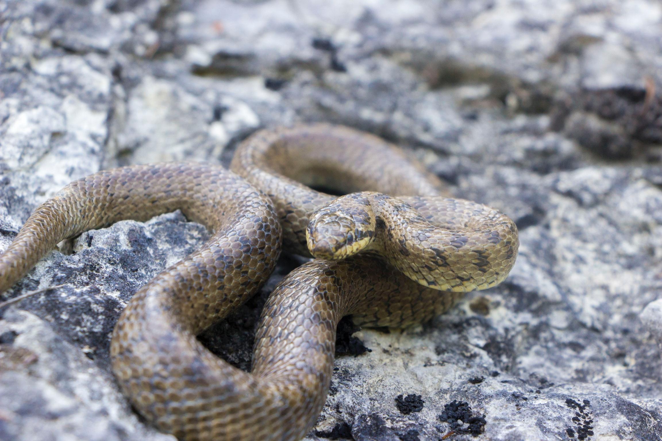 I Serpenti del Teramano: riconoscimento e distribuzione delle diverse specie presenti
